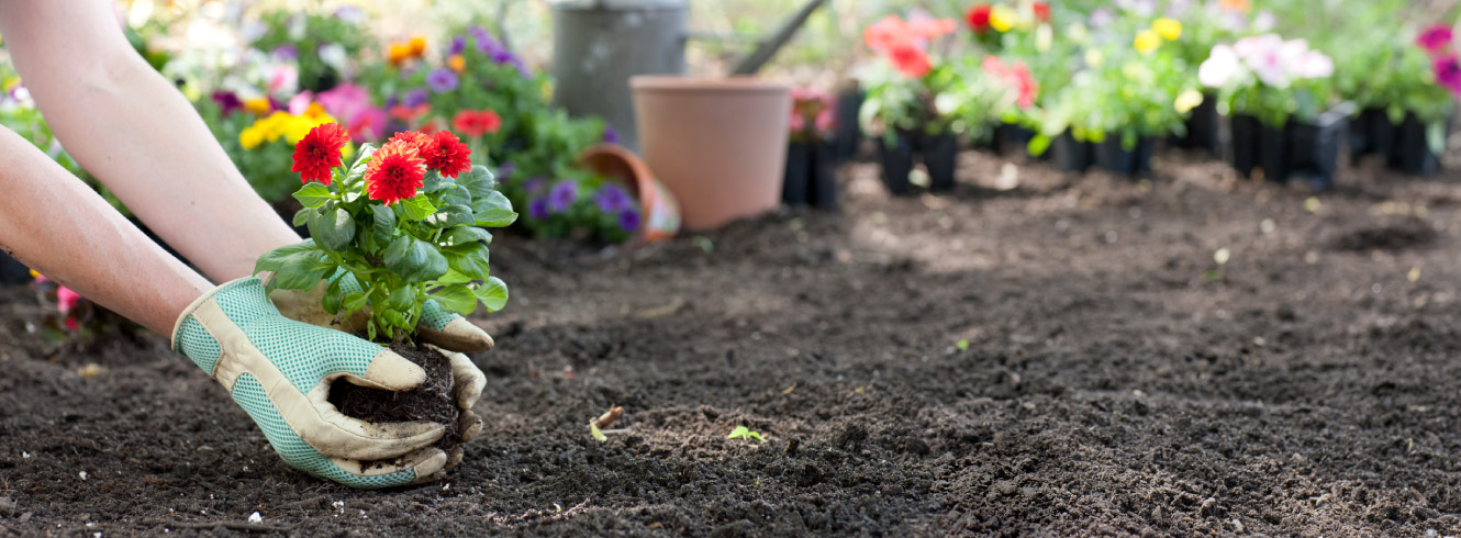 A person's hands holding a potted flower over fresh soil.